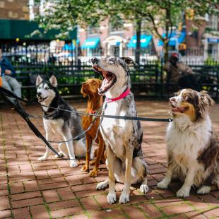 A group of dogs sit outside looking at their dog walker
