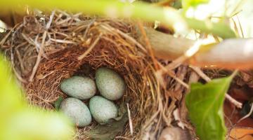 Blue eggs in bird's nest in tree