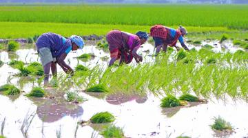 Women in rice field in India